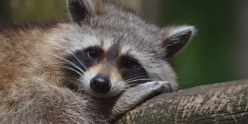 Sanibel Raccoon